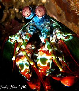Peacock Mantis Shrimp - Padang Bai, Bali Canon G9 + Niko... by Andy Chan