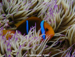 Clark anemone fish in it's anemone, in Moorea by Dominique Tehei