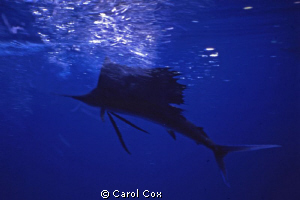Sailfish - I was visited by this sailfish when I was snor... by Carol Cox