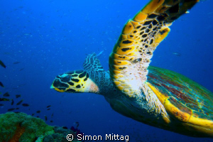 Green Turtle, Chelonia Midas photographed at the SS Yonga... by Simon Mittag