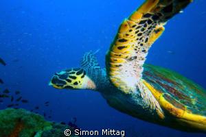 Green Turtle, Chelonia Midas photographed at the SS Yonga... by Simon Mittag