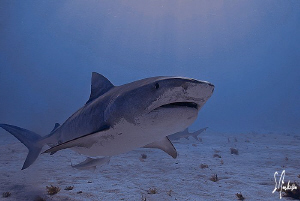 This image was taken while diving at Tiger Beach, the wat... by Steven Anderson