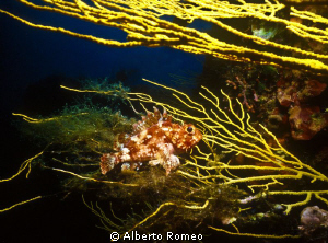 A little scorpiofih on a gorgonian in Mediterranean sea. by Alberto Romeo