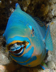 Blue Barred Parrotfish by Martin Dalsaso
