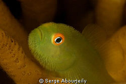 Goby Portrait by Serge Abourjeily