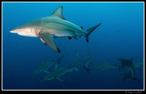 blacktips 2 by Dray Van Beeck