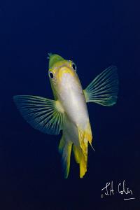 Damsel Fish by Julian Cohen