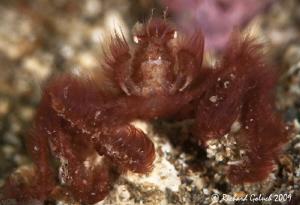 Orangutang Crab found in Lembeh. by Richard Goluch