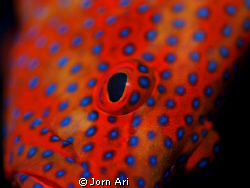 Coral Grouper close up.