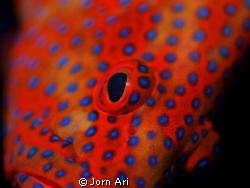 Coral Grouper close up. Olympus e-420 + Ikelite housing ... by Jorn Ari