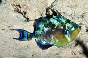 Queen Triggerfish (Balistes vetula) at Paradise Reef by David Andrew