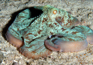 Caribbean Reef Octopus (Octopus briareus) at Paraside Reef by David Andrew