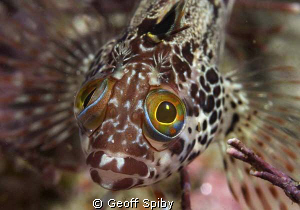 surprised clinid, False Bay by Geoff Spiby