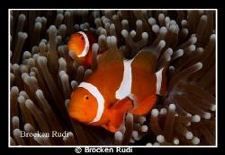 Anemoonfish by Brocken Rudi