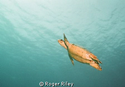 Shot w/ Nikonos off of Cozumel.  The Turtles were everywh... by Roger Riley