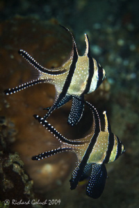 Pair of Benggai Cardinalfish,no cropping-Raja Ampat by Richard Goluch
