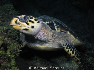 Turtle at Miss Oportunity Wreck, St. Thomas by Abimael Márquez
