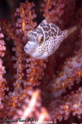 Baby pink filefish by Giuseppe Piccioli