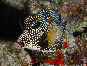 Smooth Trunkfish (Lactophrys triqueter) at Paradise Reef by David Andrew