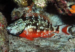 Stoplight Parrotfish (Sparisoma veride) at Paradise Reef by David Andrew