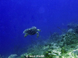 Turtle taken off Provo, at Shoots dive site in March 2009. by Anya Martin