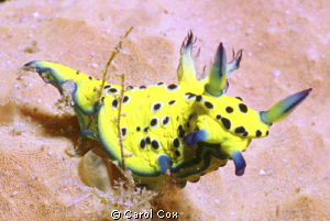 Robastra Ricei - This nudibranch was only recently identi... by Carol Cox