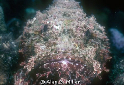 Stonefish, shot with a Nikonos RS, 50 mm macro and 2 Ikel... by Alan G. Miller