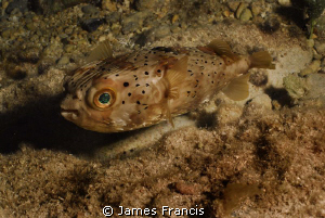 I photographed this green eyed puffer during a shallow ni... by James Francis