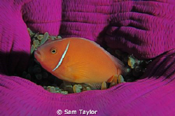 just another anemonefish shot.... by Sam Taylor