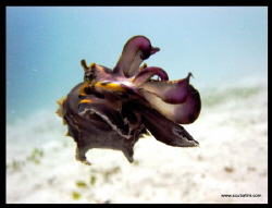 Flamboyant Cuttle Fish - Shot with no lenses & no strobes by Tim Ho