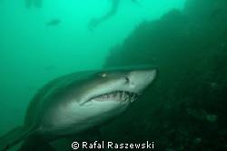 Raggie shark, Port Elizabeth South Africa, December.D70,N... by Rafal Raszewski