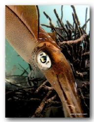 Squid on Natural light with no lenses used... by Tim Ho