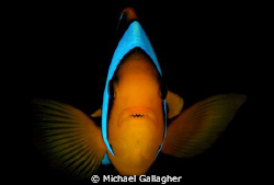 Angry!! Anemonefish defending its anemone in Milne Bay, P... by Michael Gallagher