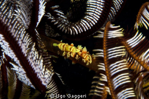The various marine life in Puerto Galera. by Ugo Gaggeri