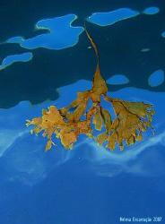Drifting algae. by Helena Encarnação