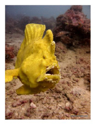 Flying Frog Fish shot on natural light with no macro, wid... by Tim Ho