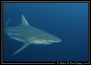 Fast Black tip shark taken in South Africa. by Raoul Caprez