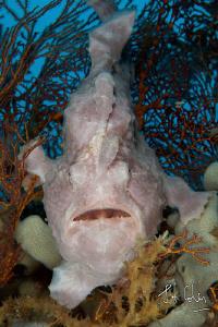 Giant Frog Fish by Julian Cohen