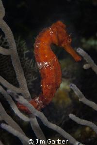 Sea horse of Roatan by Jim Garber
