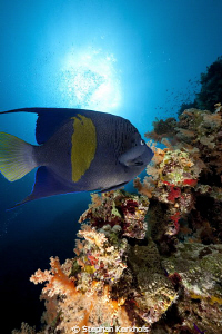 Yellowbar Angelfish taken at the inside of Jackson Reef. by Stephan Kerkhofs