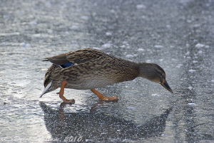 Duck on the river Lune. S5PRO, 18-200mm. by Derek Haslam