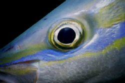 Rainbow Runner Eye Sea & Sea MMII St Lucia, West Indies by Ed Burford