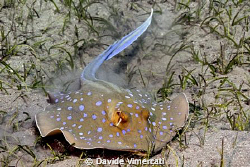 Portrait of a blue-spotted sting ray - Abu Dabab, Egypt, ... by Davide Vimercati