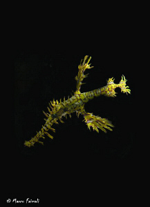 Night-ghost-swimming (Solenostomus paradoxus)  Compact ... by Marco Faimali