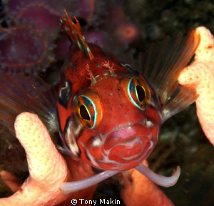 Klipvis on noble coral by Tony Makin