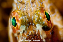 I shot this Secretary Blenny at Blue Herron Bridge.  with... by George Ordenes