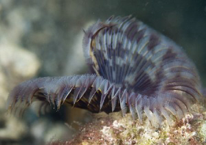 Tube worm. Lembeh straits. D200, 60mm. by Derek Haslam