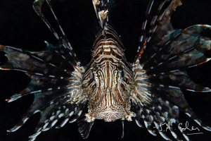 Lionfish by Julian Cohen