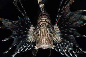 Lionfish by Julian Cohen