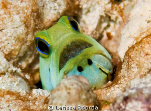 Yellow-headed Jawfish with babies.  First one (and maybe ... by Larissa Roorda